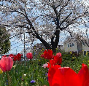春の匂い♪満開!